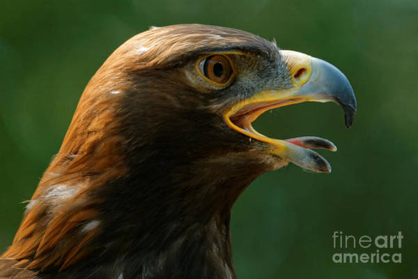 Photograph - Golden Eagle - Summer Heat by Sue Harper