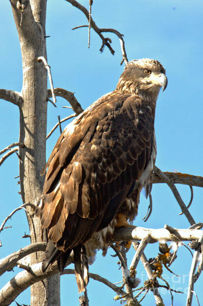 Photograph - Golden Eagle Under Blue Skies by Adam Jewell