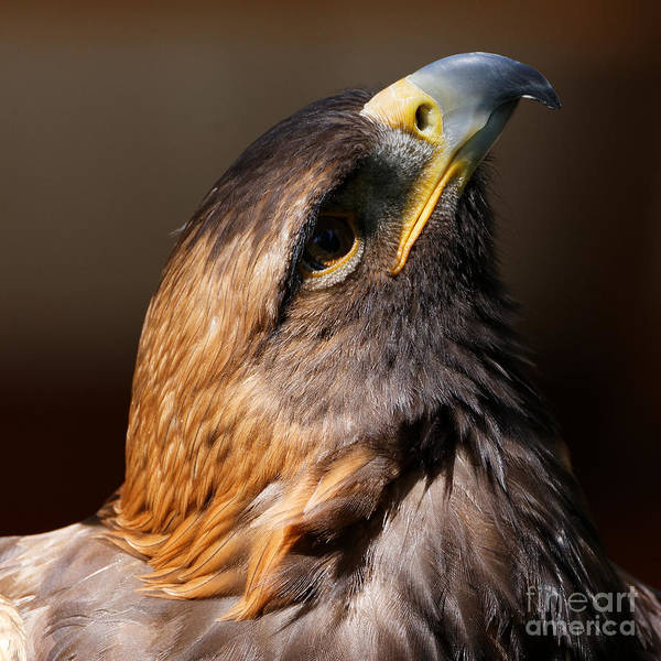 Photograph - Golden Eagle Upwards by Sue Harper