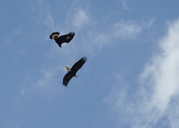Photograph - Golden Eagle Vs. Bald Eagle by Bill Gabbert