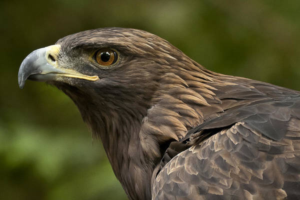 Photograph - Golden Eagle by Wes and Dotty Weber