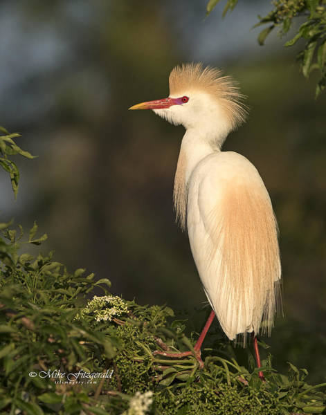 Photograph - Golden Egret by Mike Fitzgerald