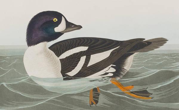 Art In America Painting - Golden-eye Duck by John James Audubon