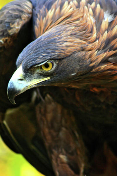 Golden Eagle Photograph - Golden Eye by Scott Mahon