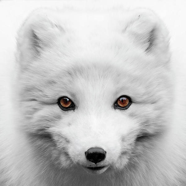 Photograph - Golden Eyes by Wes and Dotty Weber
