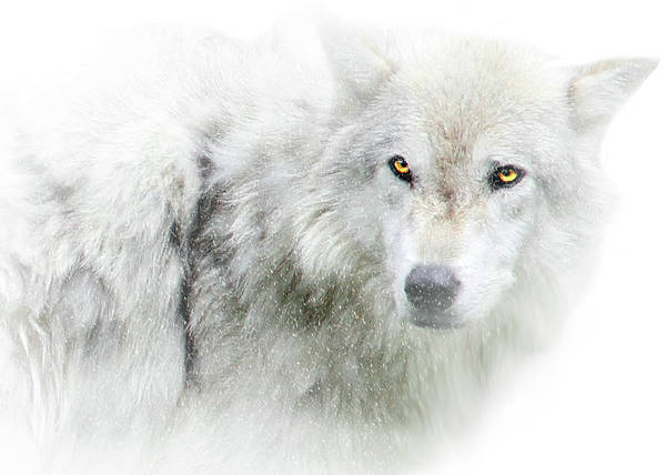 White Wolf Photograph - Golden Eyes by Stephanie Laird