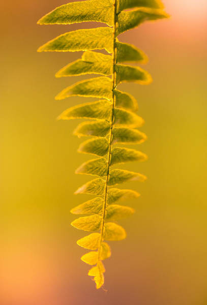 Fern Photograph - Golden Fern by Shane Holsclaw