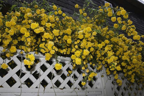Photograph - Golden Flower Spread by Donna L Munro