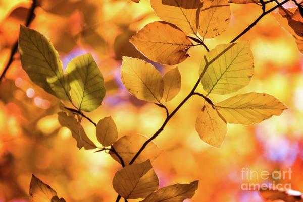 Autumn Leaves Photograph - Golden Foliage by Delphimages Photo Creations