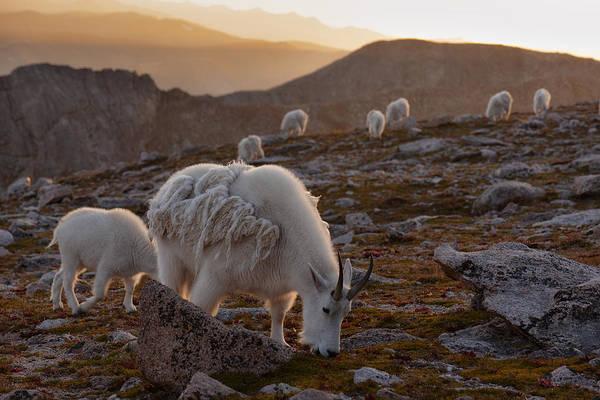 Wall Art - Photograph - Golden Goat Herd by Mike Berenson