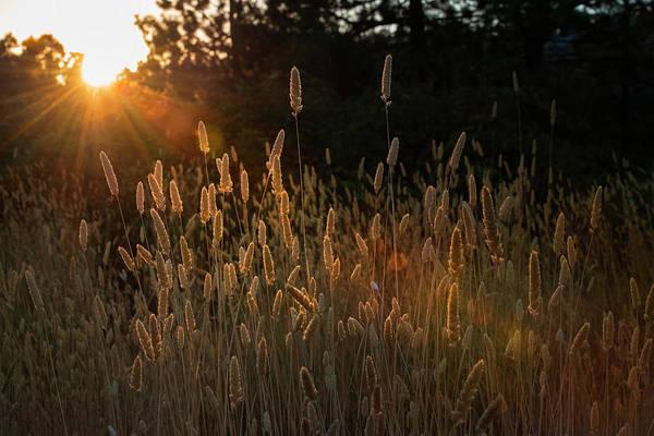 Photograph - Golden Grain - 2 by Jonathan Hansen