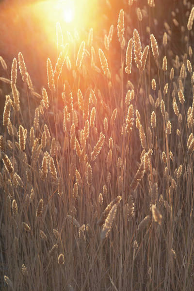 Photograph - Golden Grain by Jonathan Hansen