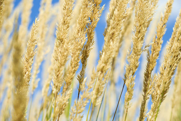 Photograph - Golden Grains by Christi Kraft