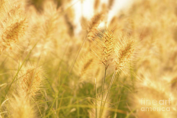 Weeds Photograph - Golden Grass by Delphimages Photo Creations