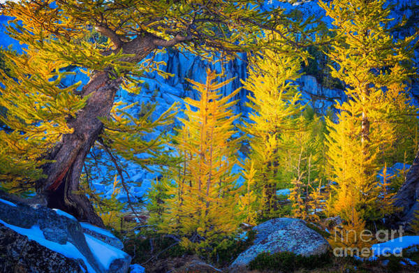 Alpine Lakes Wilderness Photograph - Golden Grove by Inge Johnsson
