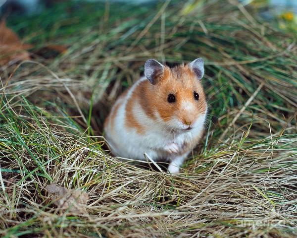Golden Hamster Photograph - Golden Hamster by Werner Layer