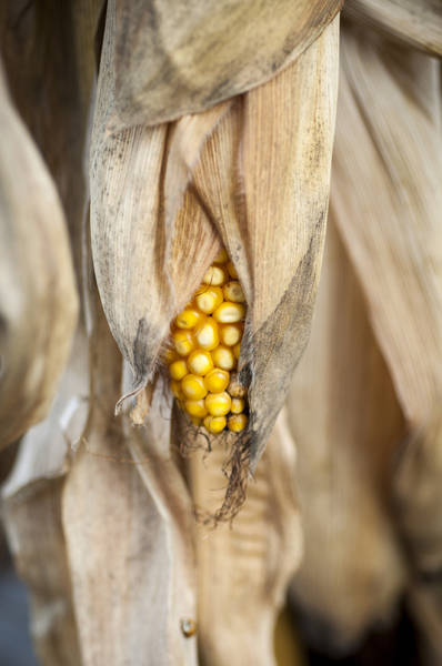 Photograph - Golden Harvest by Christi Kraft