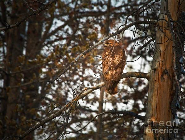 Photograph - Golden Hawk by Craig J Satterlee
