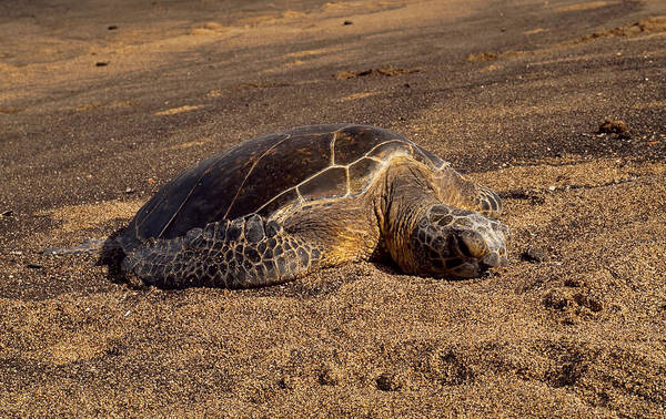 Photograph - Golden Honu by Pamela Walton