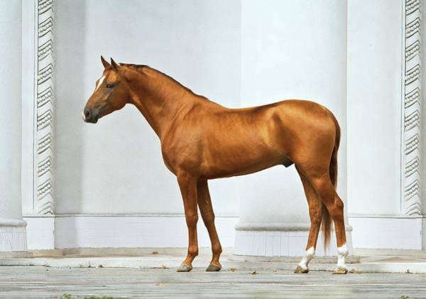 Photograph - Golden Horse by Ekaterina Druz