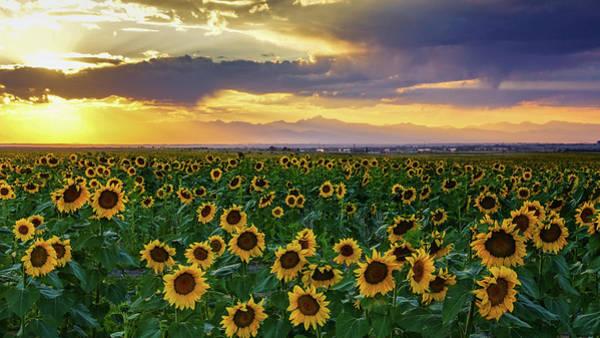 Photograph - Golden Hour Across The Sunflower Fields by John De Bord