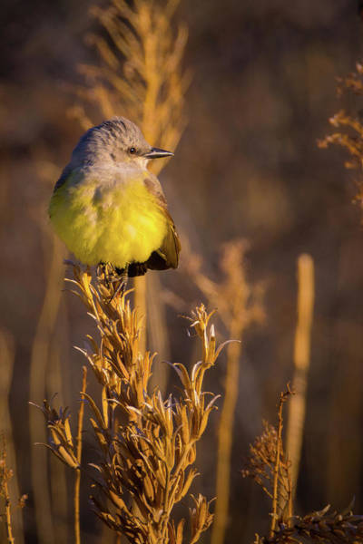 Photograph - Golden Hour Flycatcher by John De Bord