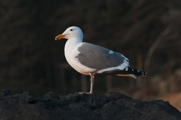 Photograph - Golden Hour Gull by Robert Potts
