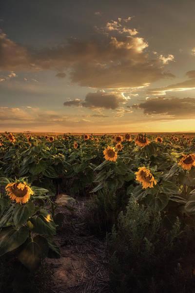 Photograph - Golden Hour Over Sunflowers by John De Bord
