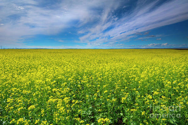 Canola Wall Art - Photograph - Golden Infinity by Mike Dawson