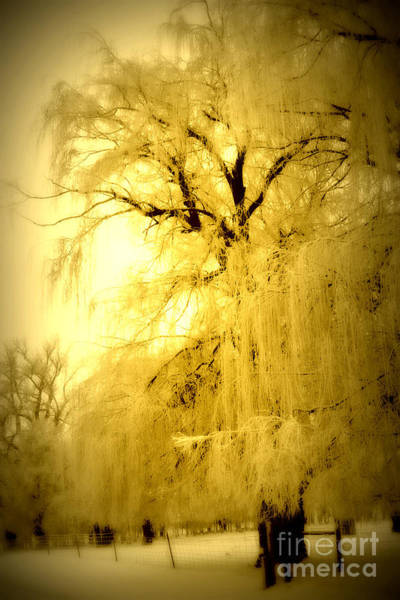 Weeping Willow Wall Art - Photograph - Golden by Julie Lueders