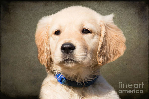 Puppies Photograph - Golden Labrador Puppy by Smart Aviation