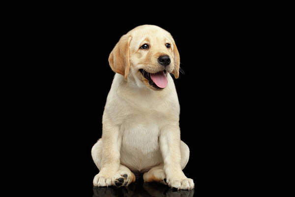 Wall Art - Photograph - Golden Labrador Retriever Puppy Isolated On Black Background by Sergey Taran