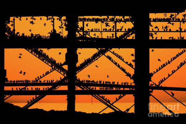 Photograph - Golden Light And The Starlings Of Aberystwyth by Keith Morris
