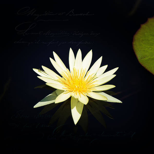 Photograph - Golden Lily by Milena Ilieva