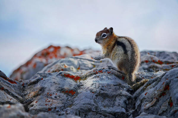 Wall Art - Photograph - Golden Mantled Ground Squirrel At The Top Of Sulphur Mountain by Maria Angelica Maira