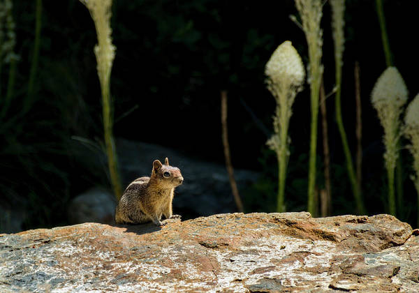 Wall Art - Photograph - Golden-mantled Ground Squirrel by Betty Depee