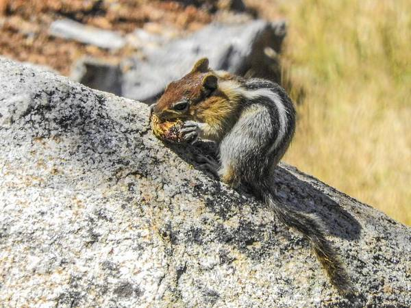 Photograph - Golden Mantled Ground Squirrel Yosemite National Park by NaturesPix