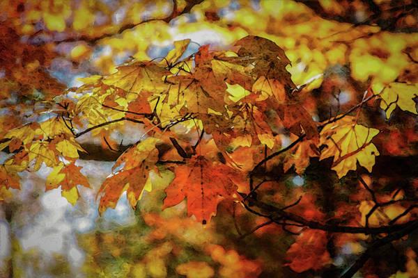 Photograph - Golden Maple 7134 Dp_2 by Steven Ward