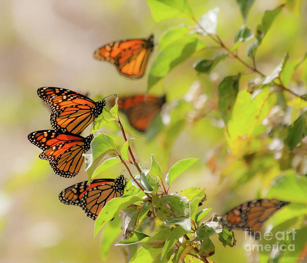 Southern Ontario Photograph - Golden Monarch Cluster by Janal Koenig