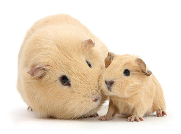 Photograph - Golden Mother And Baby Guinea by Warren Photographic