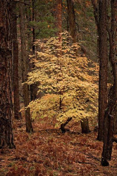 Photograph - Golden Oak by Teresa Wilson