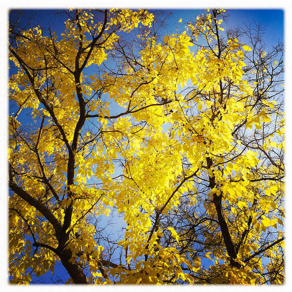 Golden October Tree In Fall Art Print