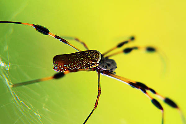 Golden Orb Spider Photograph - Golden Orb by Marcus Adkins