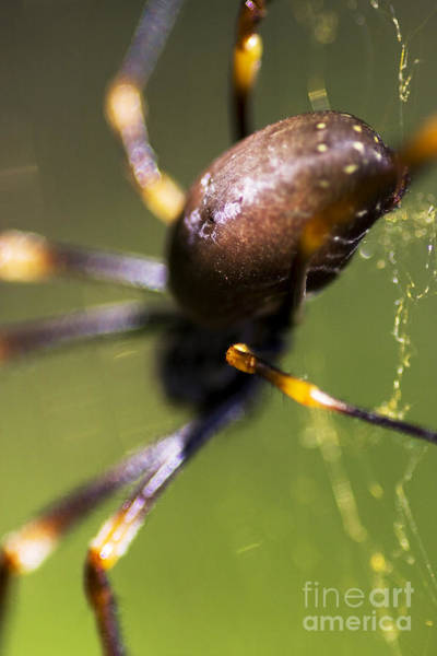 Orb Weaver Photograph - Golden Orb Spider by Jorgo Photography - Wall Art Gallery