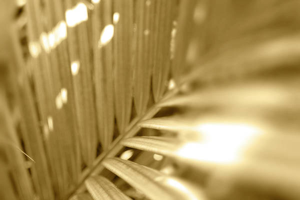 Fronds Photograph - Golden Palm Frond by Sean Davey