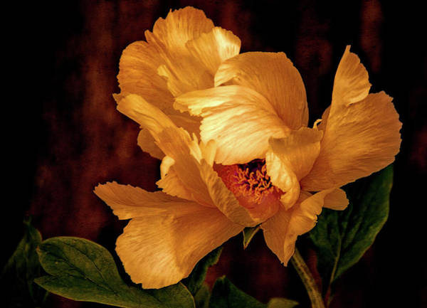 Photograph - Golden Peony by Julie Palencia