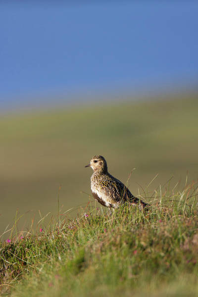 Photograph - Golden Plover by Peter Walkden