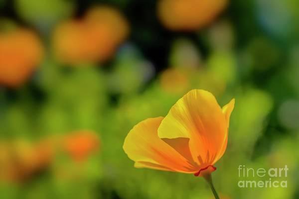 California Poppy Photograph - Golden Poppy by Veikko Suikkanen
