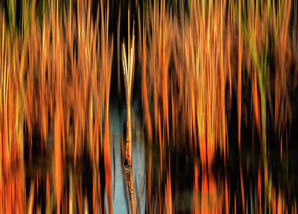Photograph - Golden Reeds by Robert Mitchell