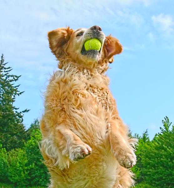 Fetch Photograph - Golden Retriever Catch The Ball  by Jennie Marie Schell